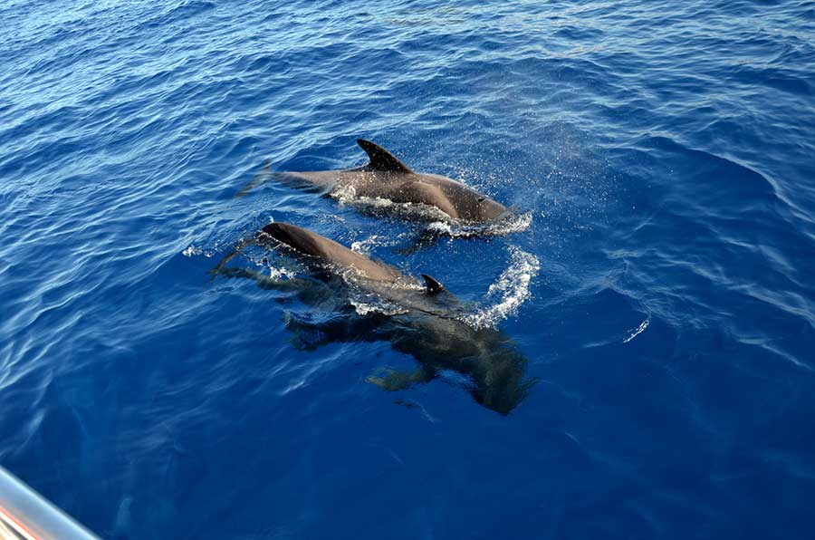 white paradise tenerife catamaran whale and dolphine listening tour